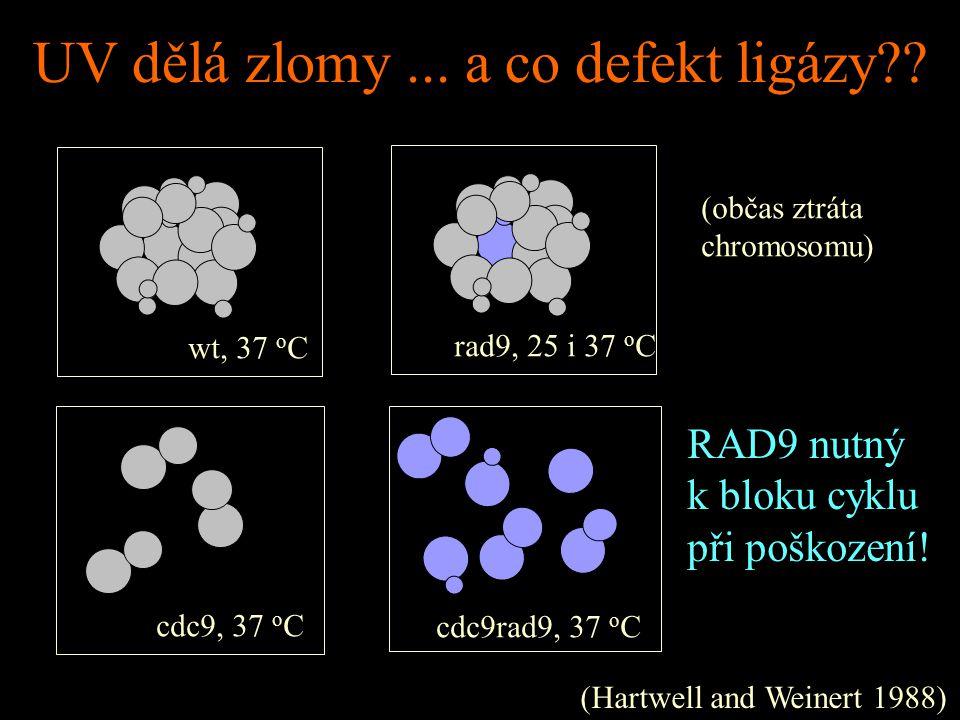 Obecně: cell morphogenesis checkpoint Senzor: proteinové komplexy asociované se septiny Cíl: inhibiční fosforylace CDC28 (Y19).
