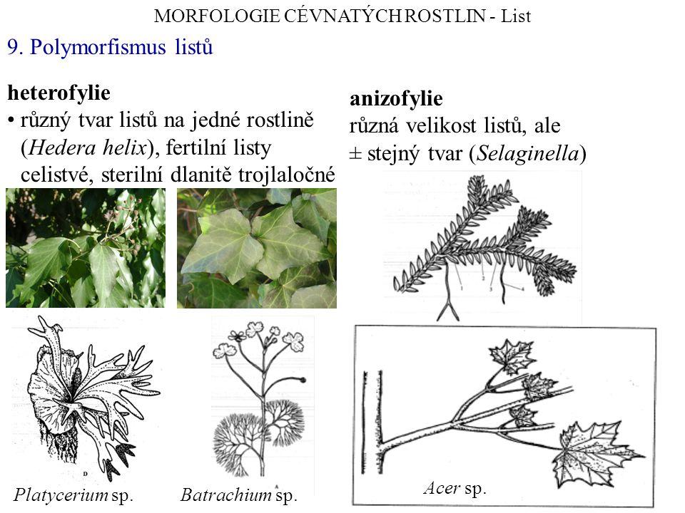 heterofylie různý tvar listů na jedné rostlině (Hedera helix), fertilní listy celistvé, sterilní dlanitě trojlaločné MORFOLOGIE CÉVNATÝCH ROSTLIN - List 9.
