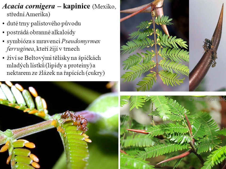 Acacia cornigera – kapinice (Mexiko, střední Amerika) duté trny palistového původu postrádá obranné alkaloidy symbióza s mravenci Pseudomyrmex ferruginea, kteří žijí v trnech živí se Beltovými tělísky na špičkách mladých lístků (lipidy a proteiny) a nektarem ze žlázek na řapících (cukry)