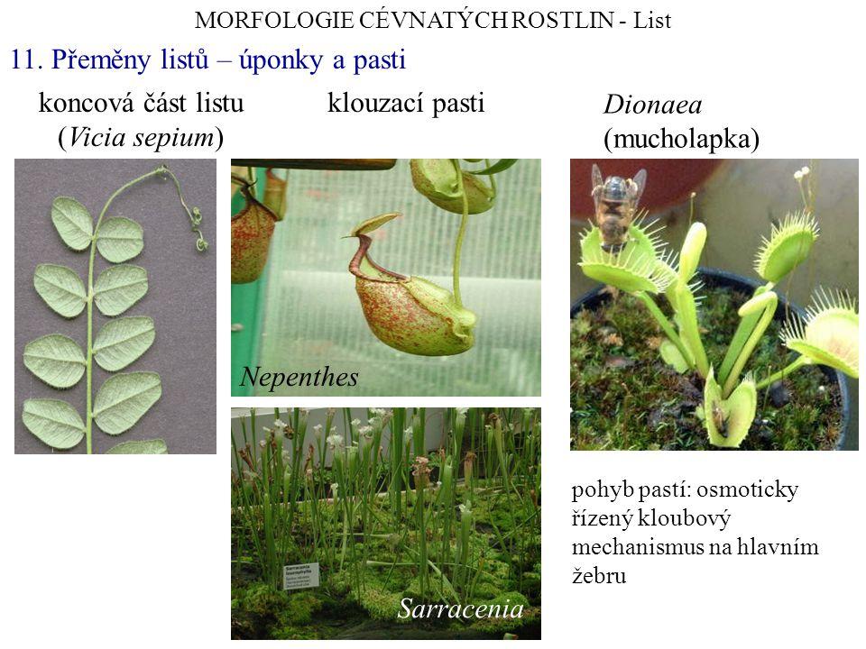 koncová část listu (Vicia sepium) MORFOLOGIE CÉVNATÝCH ROSTLIN - List 11. Přeměny listů – úponky a pasti klouzací pasti Nepenthes Sarracenia pohyb pas