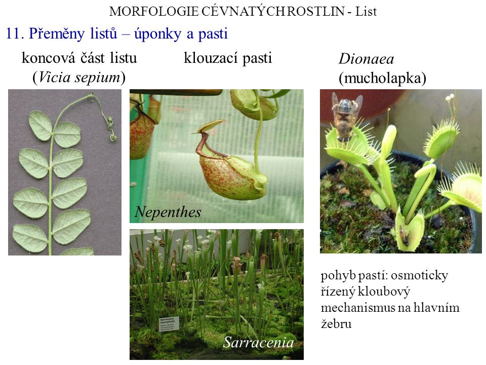 koncová část listu (Vicia sepium) MORFOLOGIE CÉVNATÝCH ROSTLIN - List 11.