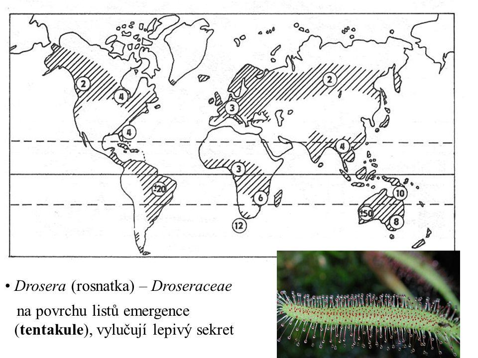 Drosera (rosnatka) – Droseraceae na povrchu listů emergence (tentakule), vylučují lepivý sekret