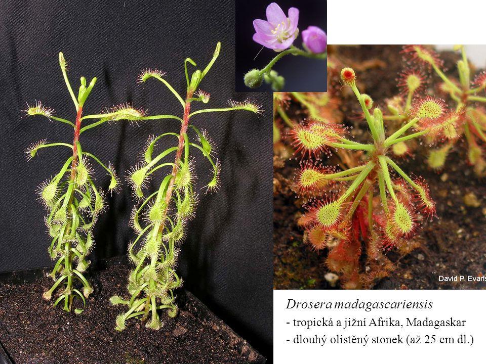 Drosera madagascariensis - tropická a jižní Afrika, Madagaskar - dlouhý olistěný stonek (až 25 cm dl.)