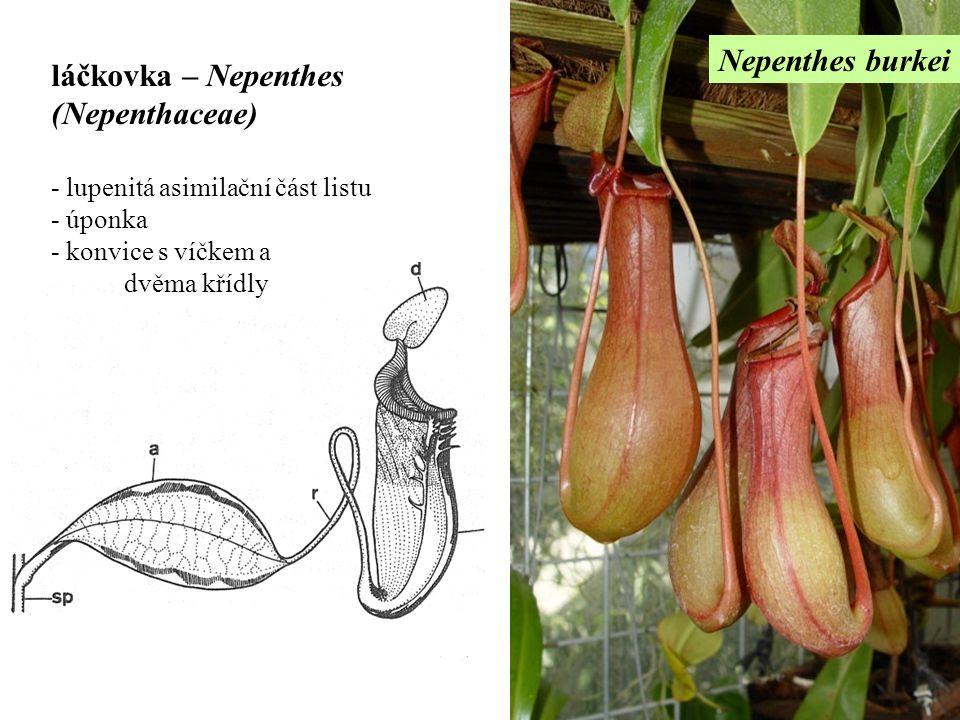 Nepenthes burkei láčkovka – Nepenthes (Nepenthaceae) - lupenitá asimilační část listu - úponka - konvice s víčkem a dvěma křídly