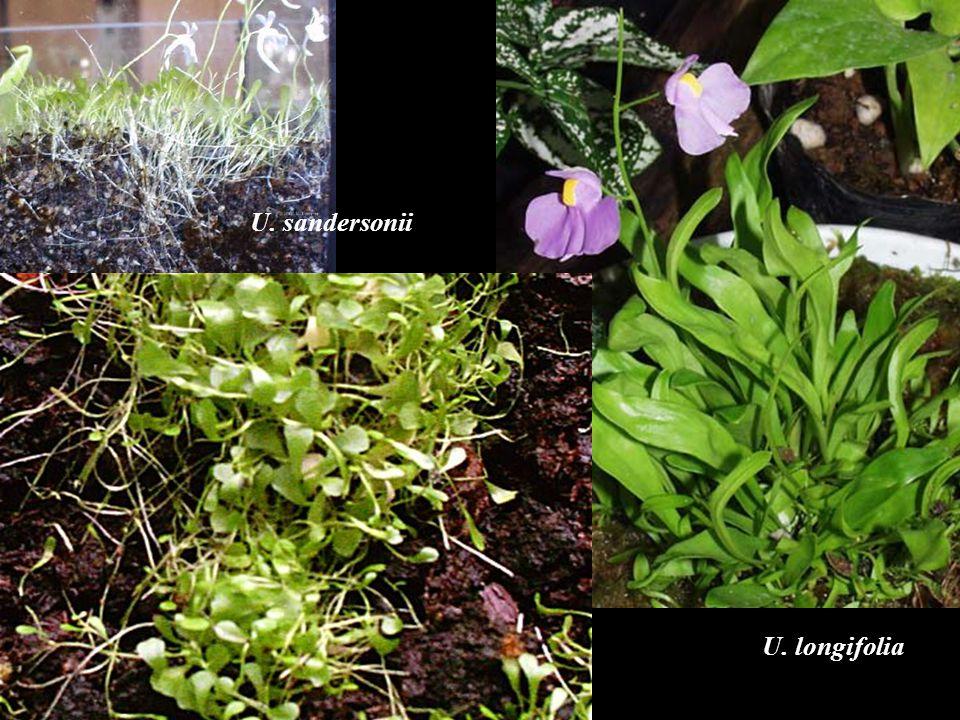 U. longifolia U. sandersonii