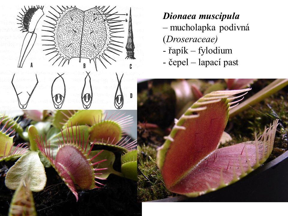 Dionaea muscipula – mucholapka podivná (Droseraceae) - řapík – fylodium - čepel – lapací past