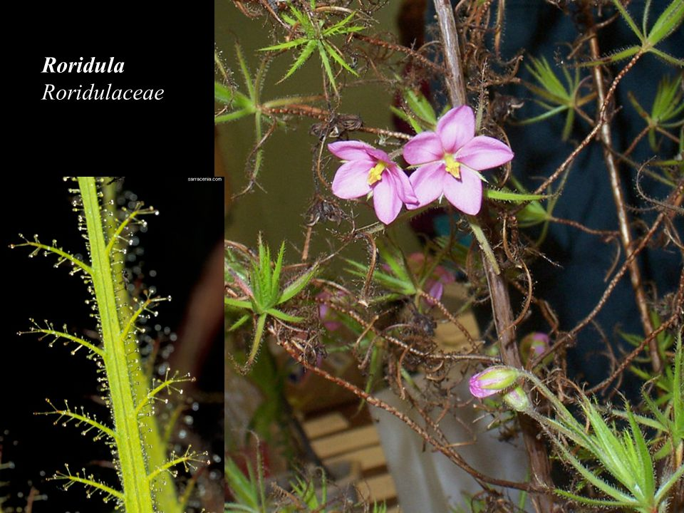 Roridula Roridulaceae