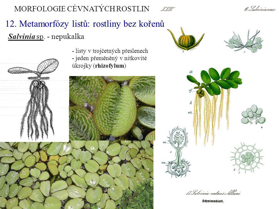 MORFOLOGIE CÉVNATÝCH ROSTLIN Salvinia sp. - nepukalka - listy v trojčetných přeslenech - jeden přeměněný v nitkovité úkrojky (rhizofylum) 12. Metamorf