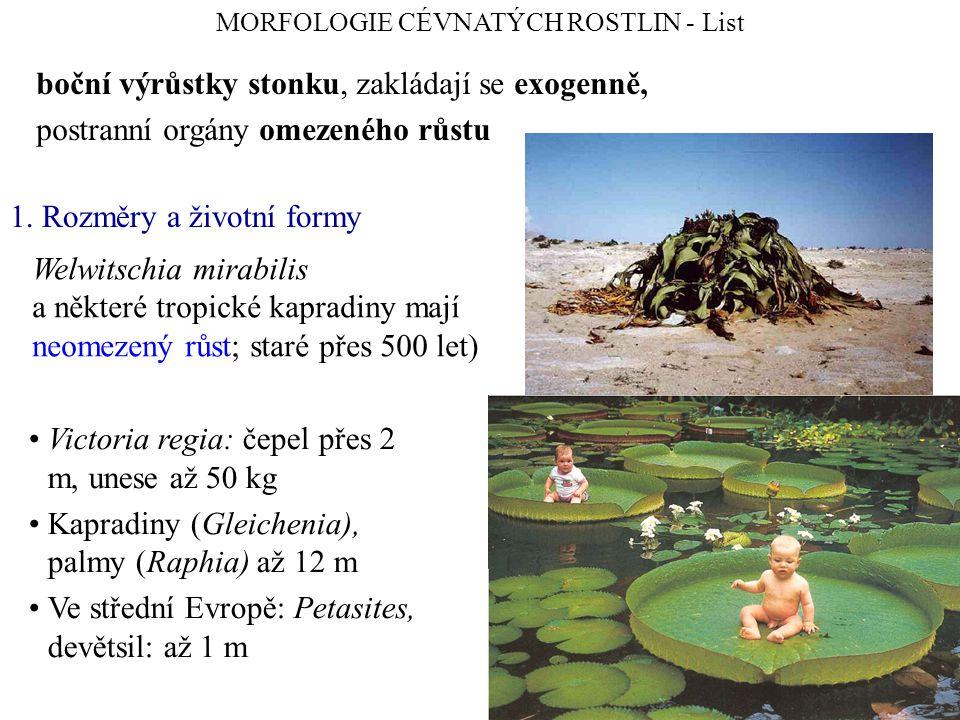 Victoria regia: čepel přes 2 m, unese až 50 kg Kapradiny (Gleichenia), palmy (Raphia) až 12 m Ve střední Evropě: Petasites, devětsil: až 1 m boční výrůstky stonku, zakládají se exogenně, postranní orgány omezeného růstu MORFOLOGIE CÉVNATÝCH ROSTLIN - List Welwitschia mirabilis a některé tropické kapradiny mají neomezený růst; staré přes 500 let) 1.