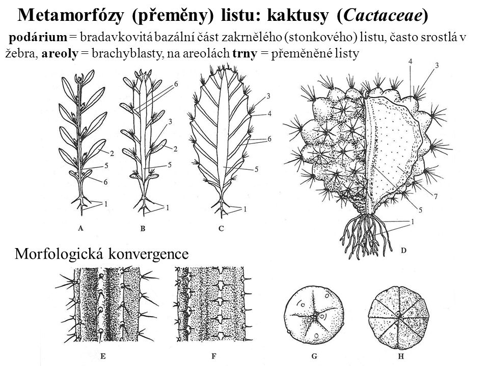 Metamorfózy (přeměny) listu: kaktusy (Cactaceae) podárium = bradavkovitá bazální část zakrnělého (stonkového) listu, často srostlá v žebra, areoly = brachyblasty, na areolách trny = přeměněné listy Morfologická konvergence