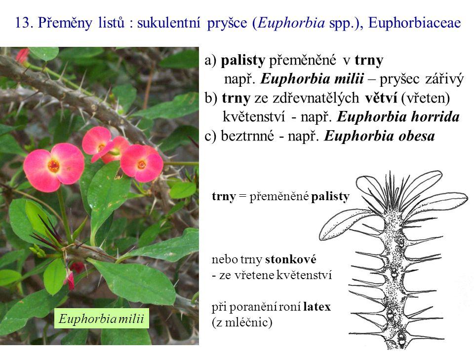 a) palisty přeměněné v trny např. Euphorbia milii – pryšec zářivý b) trny ze zdřevnatělých větví (vřeten) květenství - např. Euphorbia horrida c) bezt