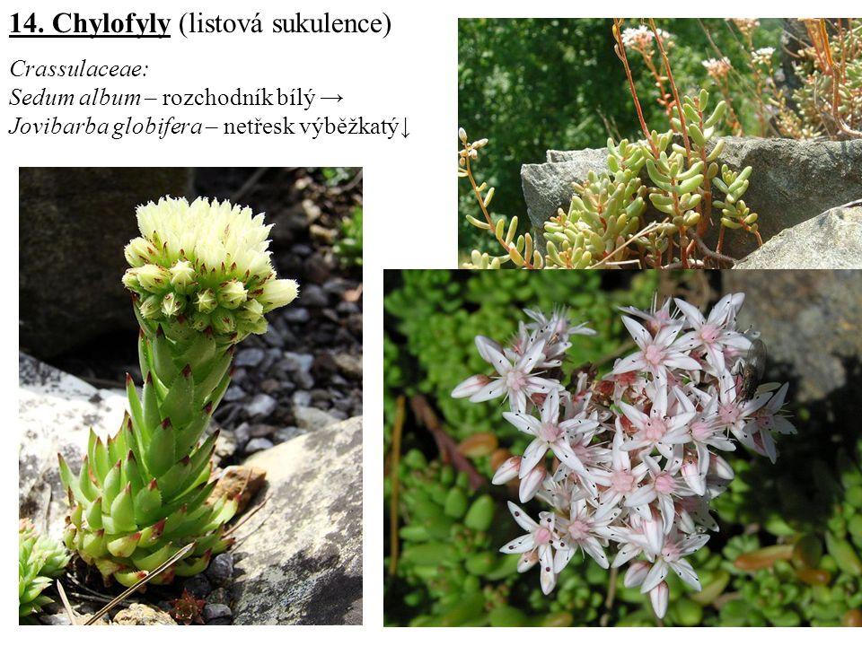 14. Chylofyly (listová sukulence) Crassulaceae: Sedum album – rozchodník bílý → Jovibarba globifera – netřesk výběžkatý↓