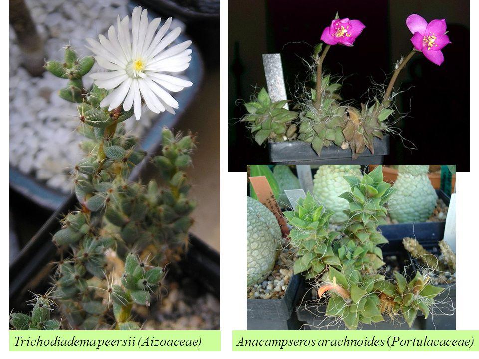 Trichodiadema peersii (Aizoaceae)Anacampseros arachnoides (Portulacaceae)