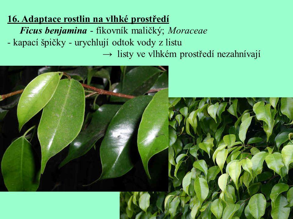 16. Adaptace rostlin na vlhké prostředí Ficus benjamina - fíkovník maličký; Moraceae - kapací špičky - urychlují odtok vody z listu → listy ve vlhkém
