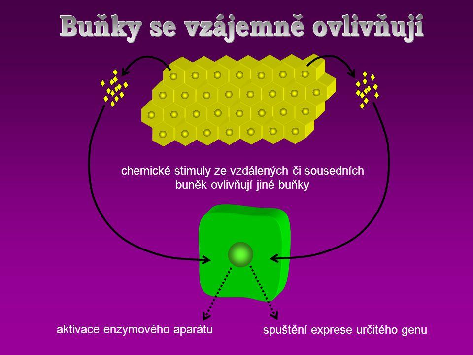 aktivace enzymového aparátu spuštění exprese určitého genu chemické stimuly ze vzdálených či sousedních buněk ovlivňují jiné buňky