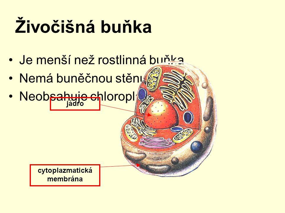Živočišná buňka Je menší než rostlinná buňka Nemá buněčnou stěnu Neobsahuje chloroplasty jádro cytoplazmatická membrána