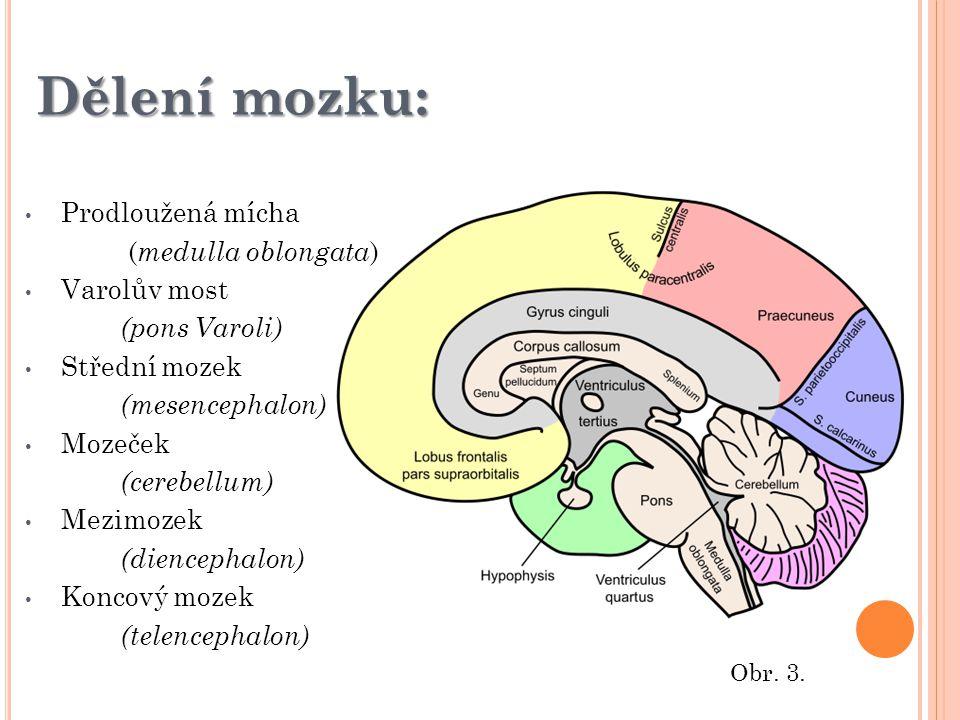 Prodloužená mícha ( medulla oblongata ) Varolův most (pons Varoli) Střední mozek (mesencephalon) Mozeček (cerebellum) Mezimozek (diencephalon) Koncový