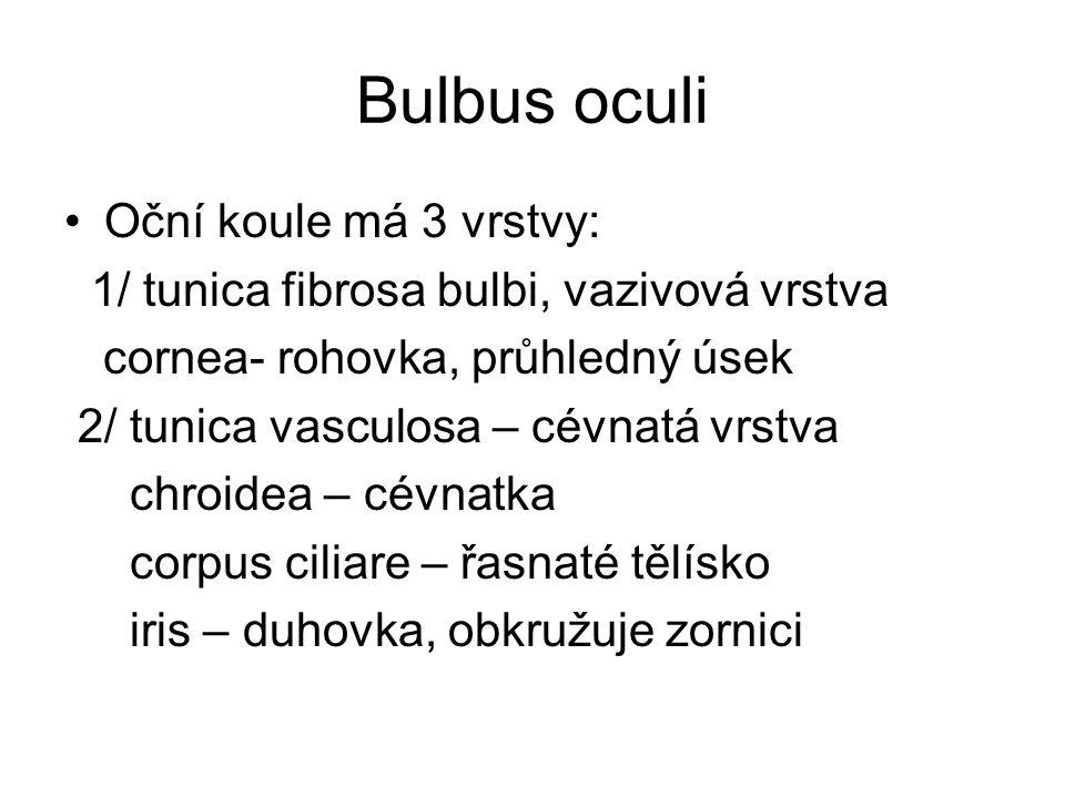 Bulbus oculi Oční koule má 3 vrstvy: 1/ tunica fibrosa bulbi, vazivová vrstva cornea- rohovka, průhledný úsek 2/ tunica vasculosa – cévnatá vrstva chr