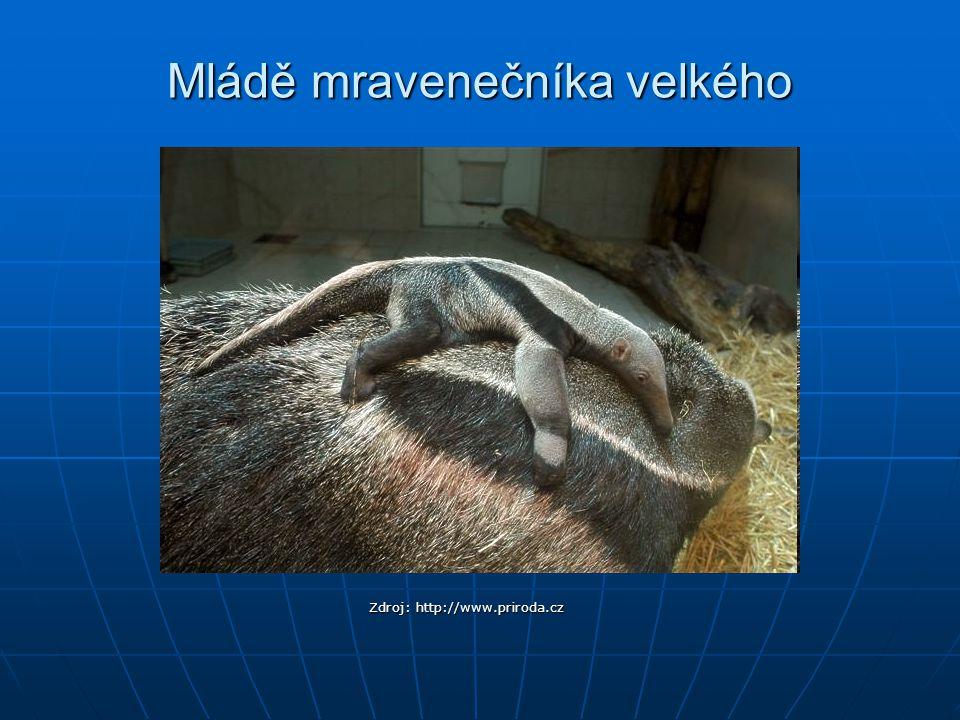 Mládě mravenečníka velkého Zdroj: http://www.priroda.cz
