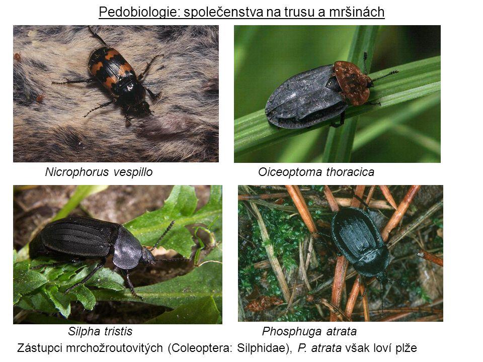 Phosphuga atrataSilpha tristis Nicrophorus vespilloOiceoptoma thoracica Pedobiologie: společenstva na trusu a mršinách Zástupci mrchožroutovitých (Col