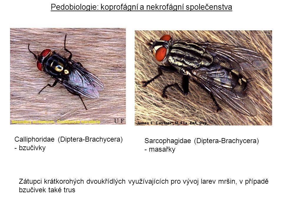 Calliphoridae (Diptera-Brachycera) - bzučivky Sarcophagidae (Diptera-Brachycera) - masařky Pedobiologie: koprofágní a nekrofágní společenstva Zátupci