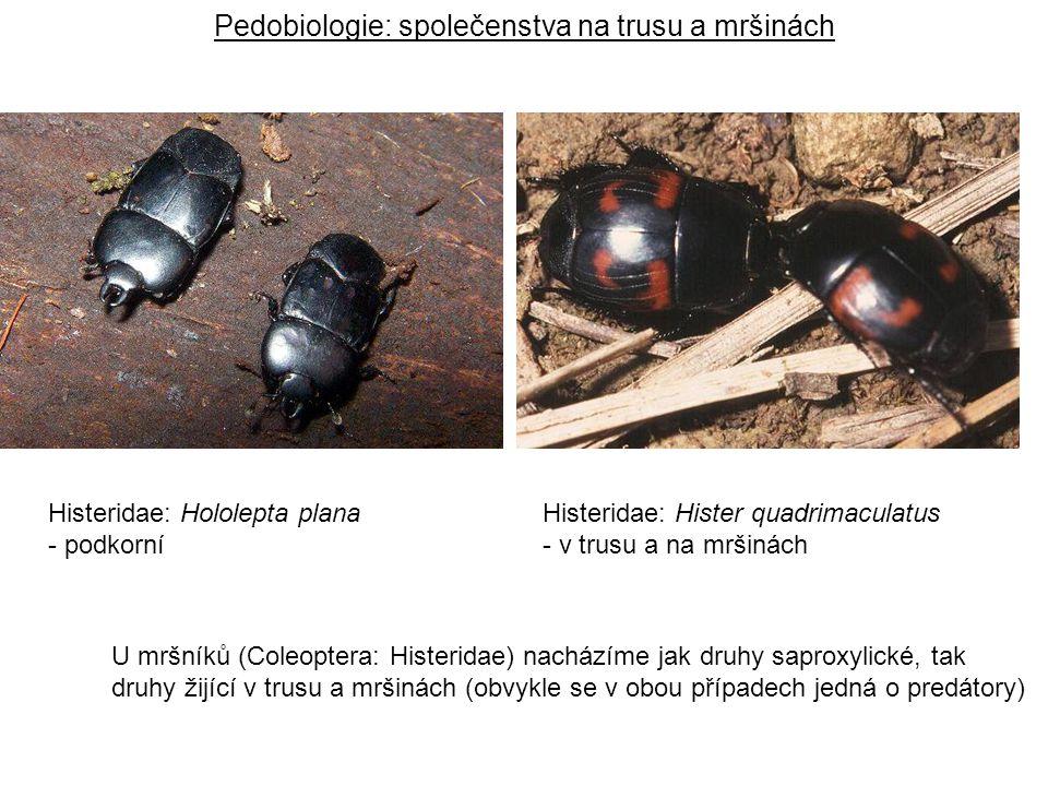 Histeridae: Hololepta plana - podkorní Histeridae: Hister quadrimaculatus - v trusu a na mršinách Pedobiologie: společenstva na trusu a mršinách U mrš