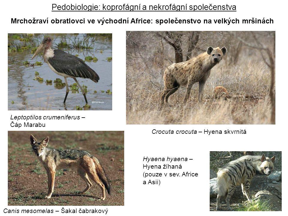 Leptoptilos crumeniferus – Čáp Marabu Canis mesomelas – Šakal čabrakový Crocuta crocuta – Hyena skvrnitá Hyaena hyaena – Hyena žíhaná (pouze v sev. Af