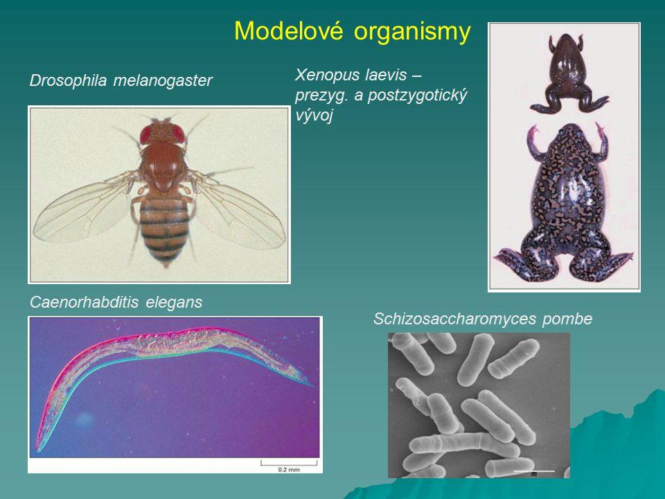 Drosophila melanogaster Modelové organismy Schizosaccharomyces pombe Caenorhabditis elegans Xenopus laevis – prezyg. a postzygotický vývoj