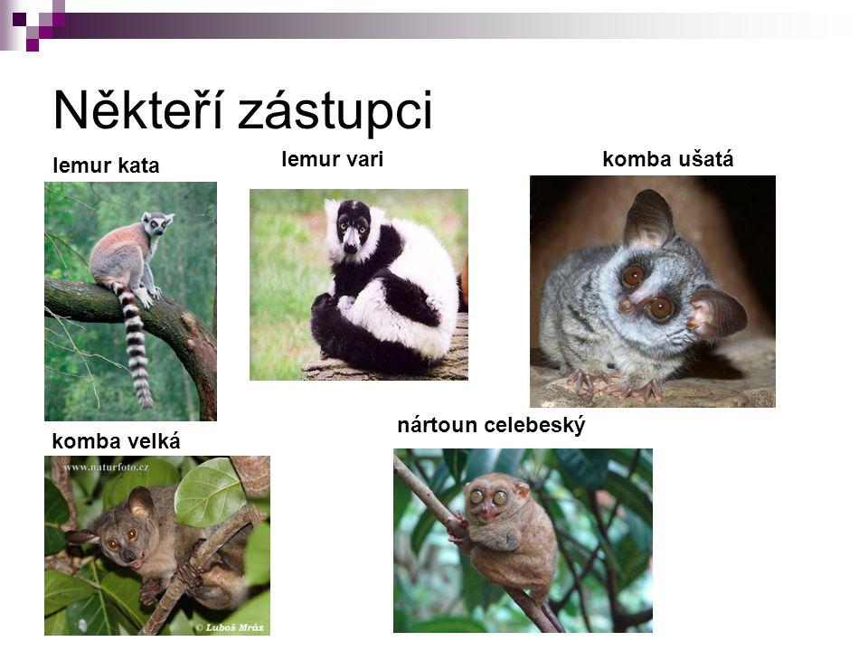 Někteří zástupci lemur kata lemur vari komba ušatá komba velká nártoun celebeský