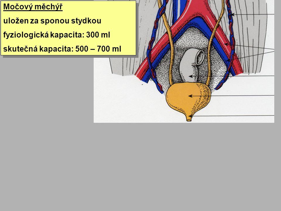 Močový měchýř uložen za sponou stydkou fyziologická kapacita: 300 ml skutečná kapacita: 500 – 700 ml Močový měchýř uložen za sponou stydkou fyziologic