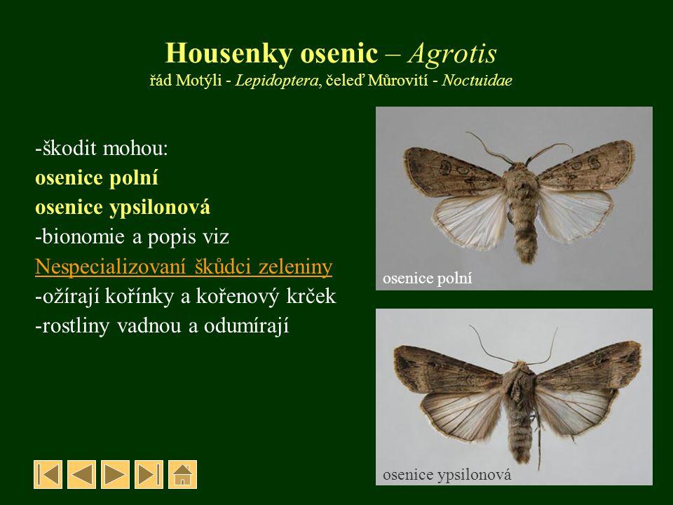 Housenky osenic – Agrotis řád Motýli - Lepidoptera, čeleď Můrovití - Noctuidae -škodit mohou: osenice polní osenice ypsilonová -bionomie a popis viz N
