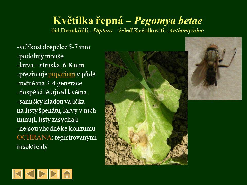 Květilka řepná – Pegomya betae řád Dvoukřídlí - Diptera čeleď Květilkovití - Anthomyiidae -velikost dospělce 5-7 mm -podobný mouše -larva – struska, 6