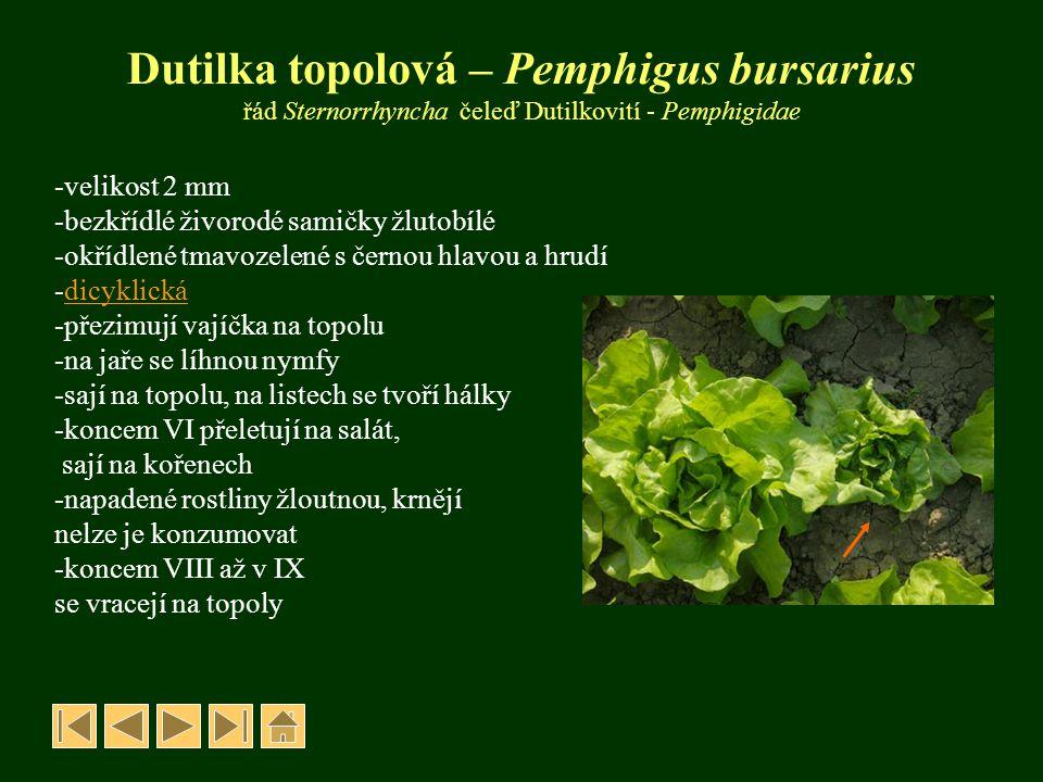 Dutilka topolová – Pemphigus bursarius řád Sternorrhyncha čeleď Dutilkovití - Pemphigidae -velikost 2 mm -bezkřídlé živorodé samičky žlutobílé -okřídl