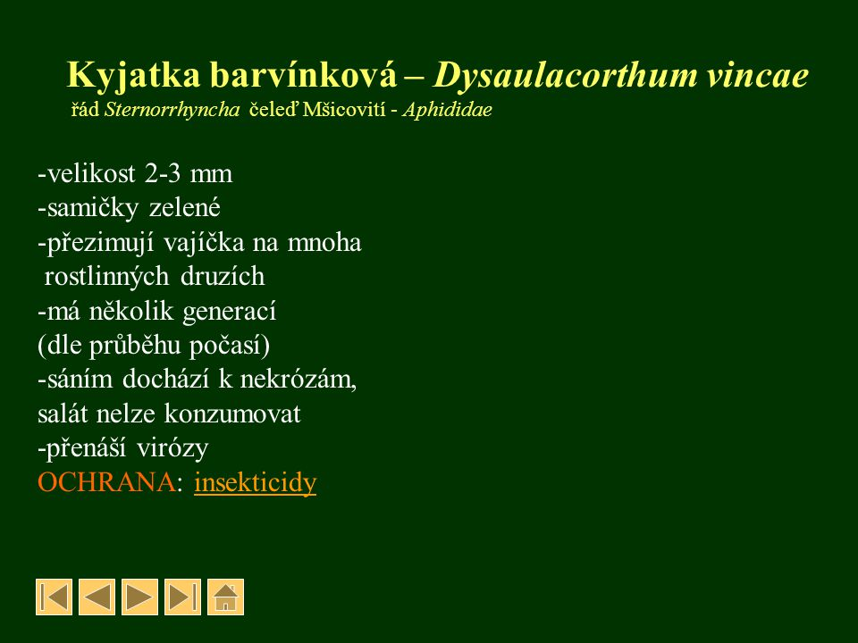 Kyjatka barvínková – Dysaulacorthum vincae řád Sternorrhyncha čeleď Mšicovití - Aphididae -velikost 2-3 mm -samičky zelené -přezimují vajíčka na mnoha