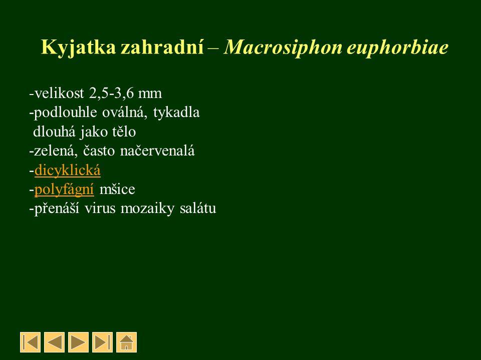 Mšice salátová - Acyrthosiphon scariolae -žlutozelené -tykadla kratší než tělo -monocyklickámonocyklická -oligofágníoligofágní -saje na lodyhách a listech -přenáší viry Živné rostliny: rod Lactuca OCHRANA: insekticidy