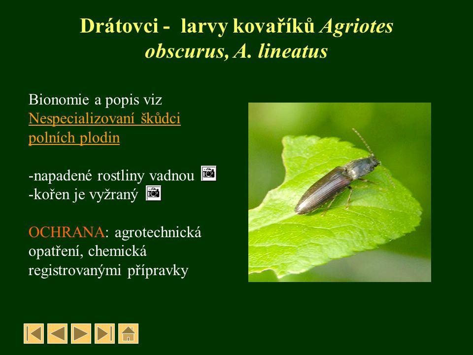 Drátovci - larvy kovaříků Agriotes obscurus, A. lineatus Bionomie a popis viz Nespecializovaní škůdci polních plodin -napadené rostliny vadnou -kořen