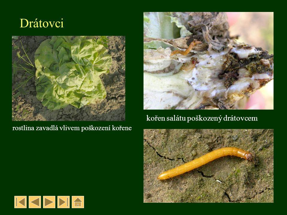 Drátovci kořen salátu poškozený drátovcem rostlina zavadlá vlivem poškození kořene