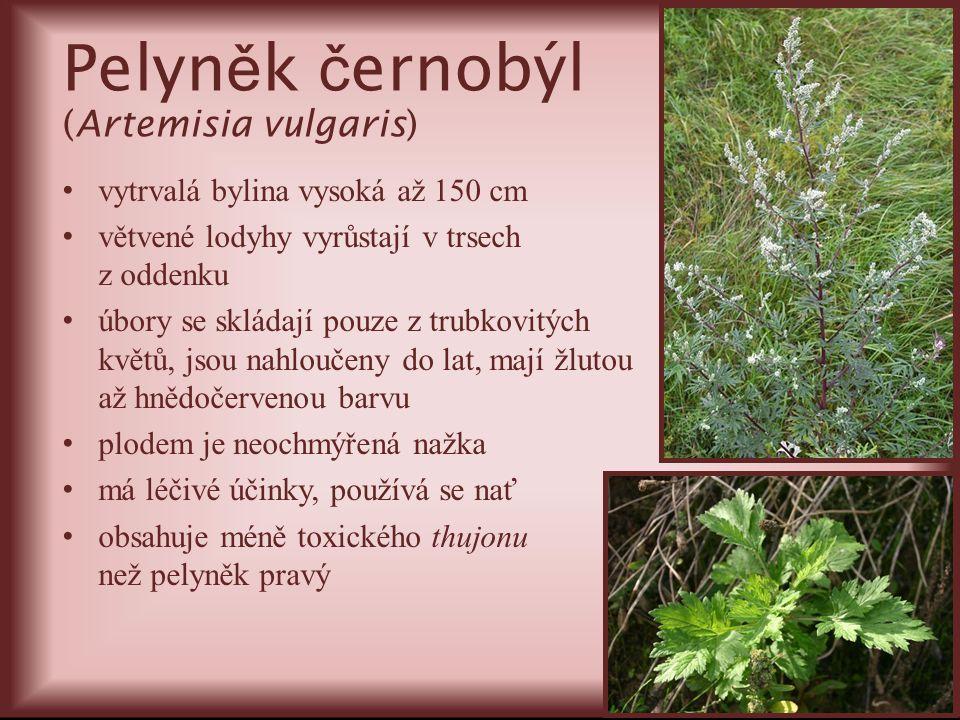 Pelyn ě k č ernobýl (Artemisia vulgaris) vytrvalá bylina vysoká až 150 cm větvené lodyhy vyrůstají v trsech z oddenku úbory se skládají pouze z trubko