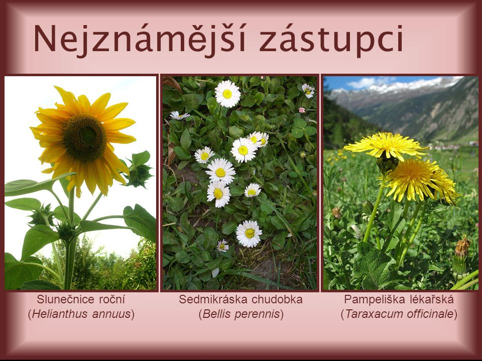 Slunečnice roční (Helianthus annuus) Sedmikráska chudobka (Bellis perennis) Pampeliška lékařská (Taraxacum officinale) Nejznám ě jší zástupci