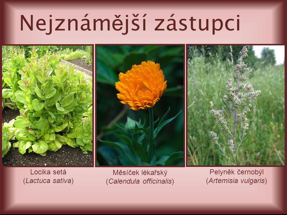 Locika setá (Lactuca sativa) Pelyněk černobýl (Artemisia vulgaris) Nejznám ě jší zástupci Měsíček lékařský (Calendula officinalis)