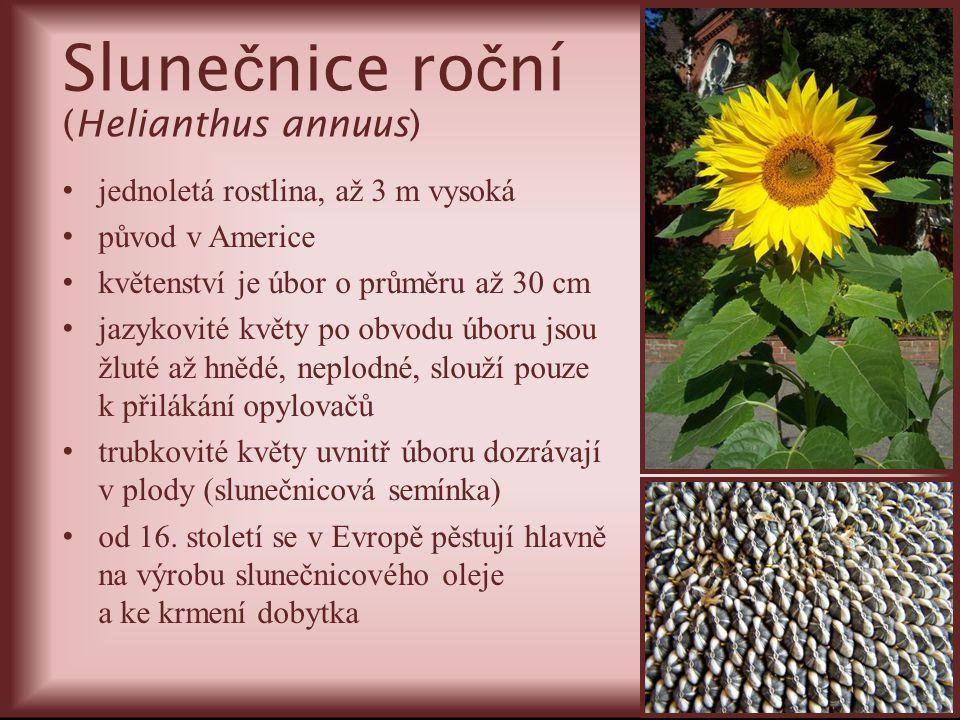 Slune č nice ro č ní (Helianthus annuus) jednoletá rostlina, až 3 m vysoká původ v Americe květenství je úbor o průměru až 30 cm jazykovité květy po o