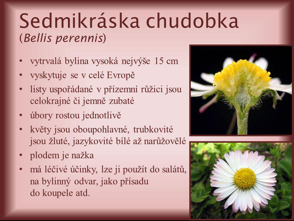 Sedmikráska chudobka (Bellis perennis) vytrvalá bylina vysoká nejvýše 15 cm vyskytuje se v celé Evropě listy uspořádané v přízemní růžici jsou celokra