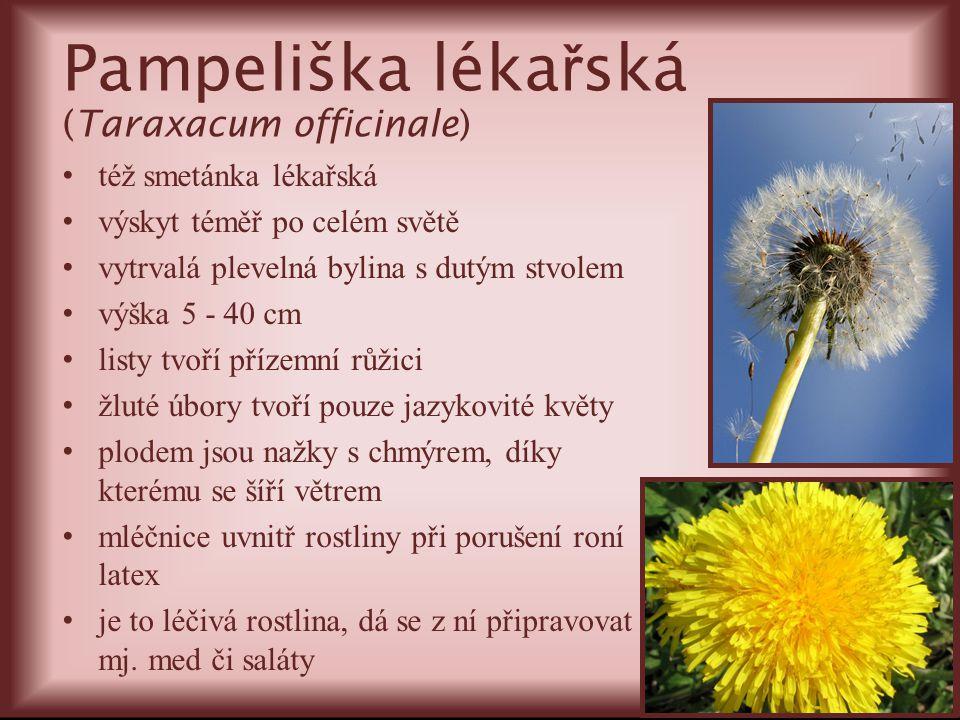 Pampeliška léka ř ská (Taraxacum officinale) též smetánka lékařská výskyt téměř po celém světě vytrvalá plevelná bylina s dutým stvolem výška 5 - 40 c