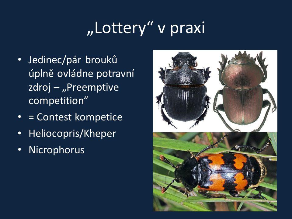 """""""Lottery"""" v praxi Jedinec/pár brouků úplně ovládne potravní zdroj – """"Preemptive competition"""" = Contest kompetice Heliocopris/Kheper Nicrophorus"""
