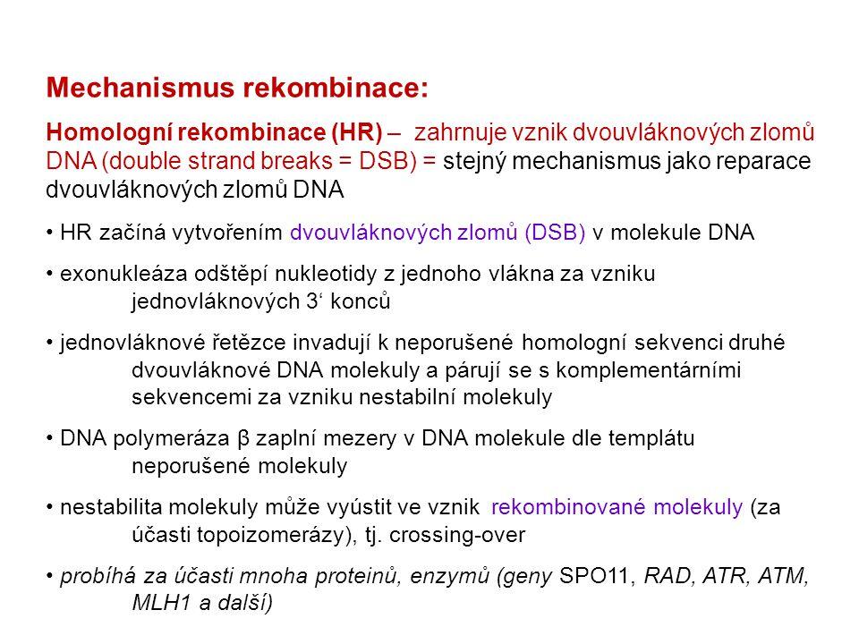 Mechanismus rekombinace: Homologní rekombinace (HR) – zahrnuje vznik dvouvláknových zlomů DNA (double strand breaks = DSB) = stejný mechanismus jako r