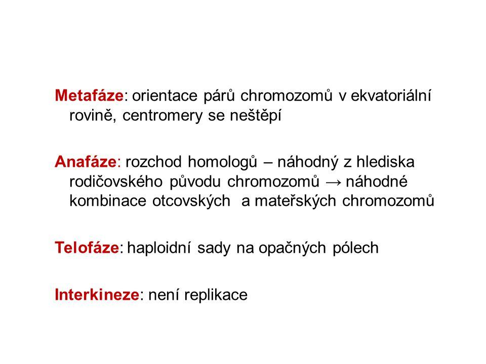 Metafáze: orientace párů chromozomů v ekvatoriální rovině, centromery se neštěpí Anafáze: rozchod homologů – náhodný z hlediska rodičovského původu ch