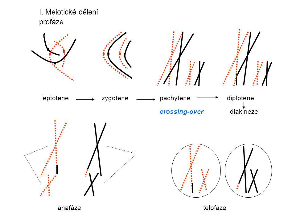leptotene zygotene pachytene diplotene crossing-over diakineze I. Meiotické dělení profáze anafáze telofáze