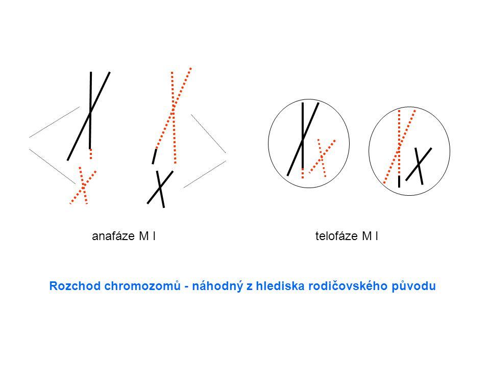 anafáze M Itelofáze M I Rozchod chromozomů - náhodný z hlediska rodičovského původu