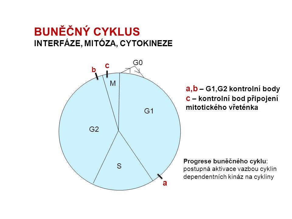 BUNĚČNÝ CYKLUS INTERFÁZE, MITÓZA, CYTOKINEZE M G1 S G2 G0 a b c a,b – G1,G2 kontrolní body c – kontrolní bod připojení mitotického vřeténka Progrese b