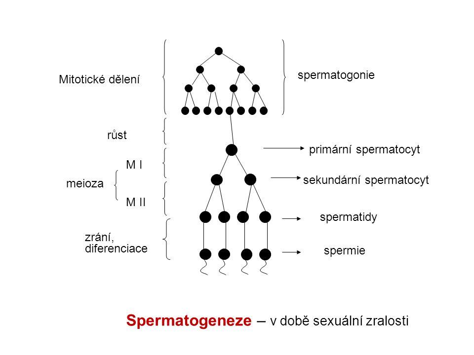 spermatogonie Mitotické dělení primární spermatocyt sekundární spermatocyt spermatidy spermie růst M I M II meioza zrání, diferenciace Spermatogeneze